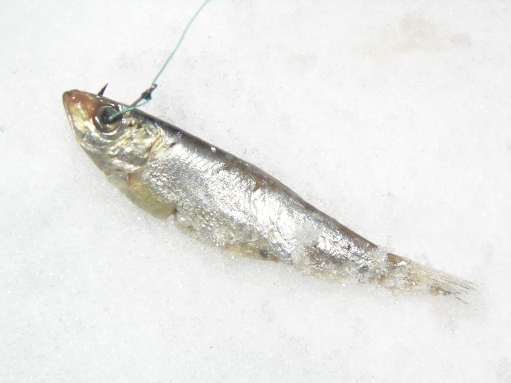 как насаживать тюльку на крючок при ловле судака