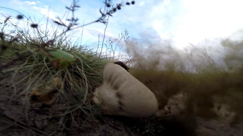 Фото как размнажается гриб дождевик