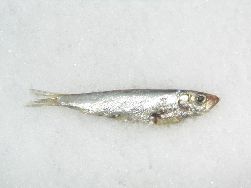 Тюлька рыба фото