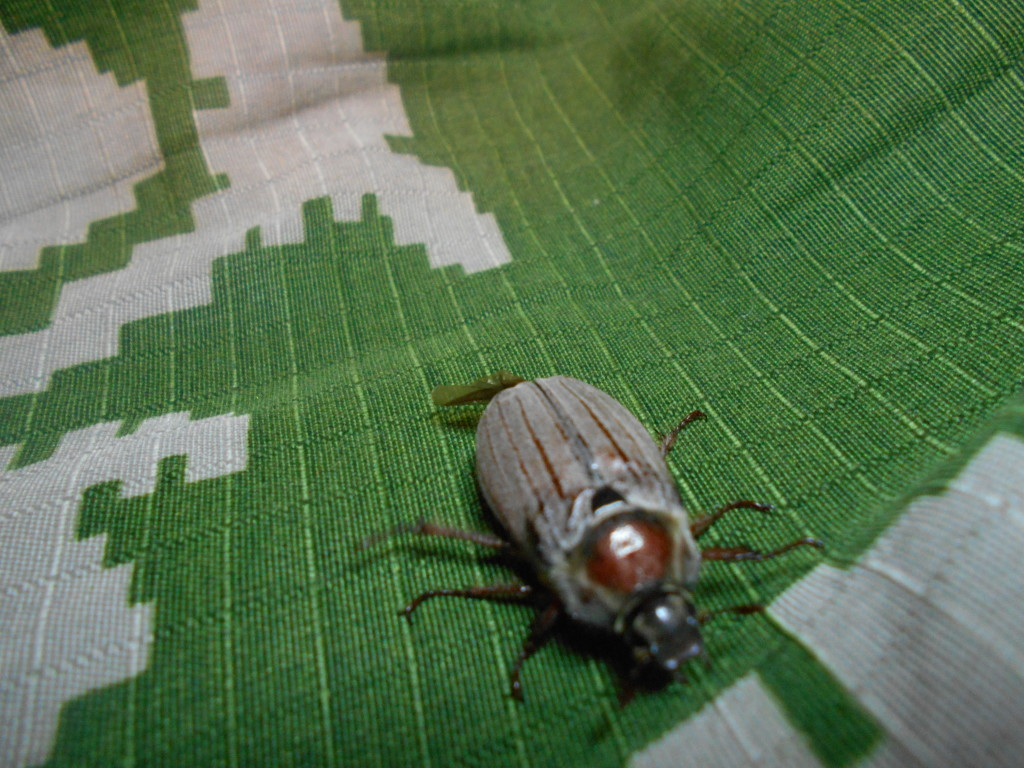 майский жук спереди фото