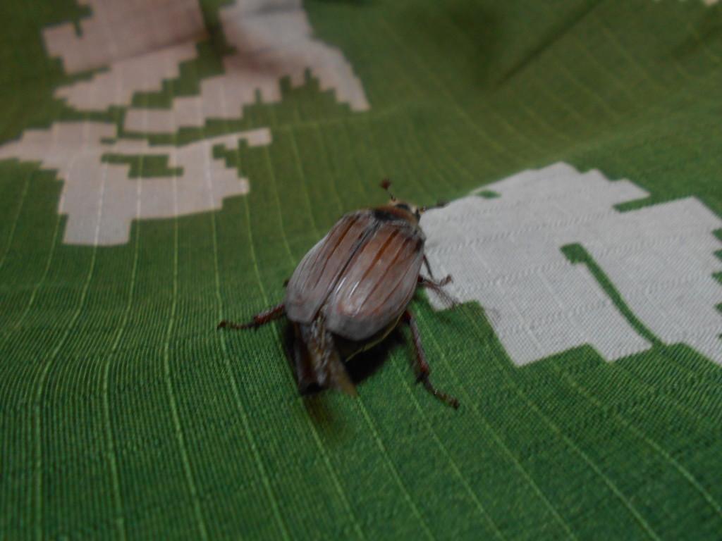 майский жук с зади фото