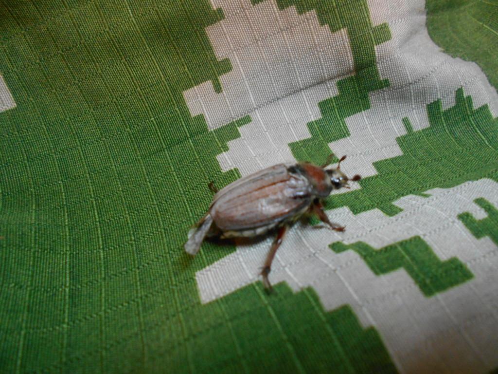 майский жук фото весной