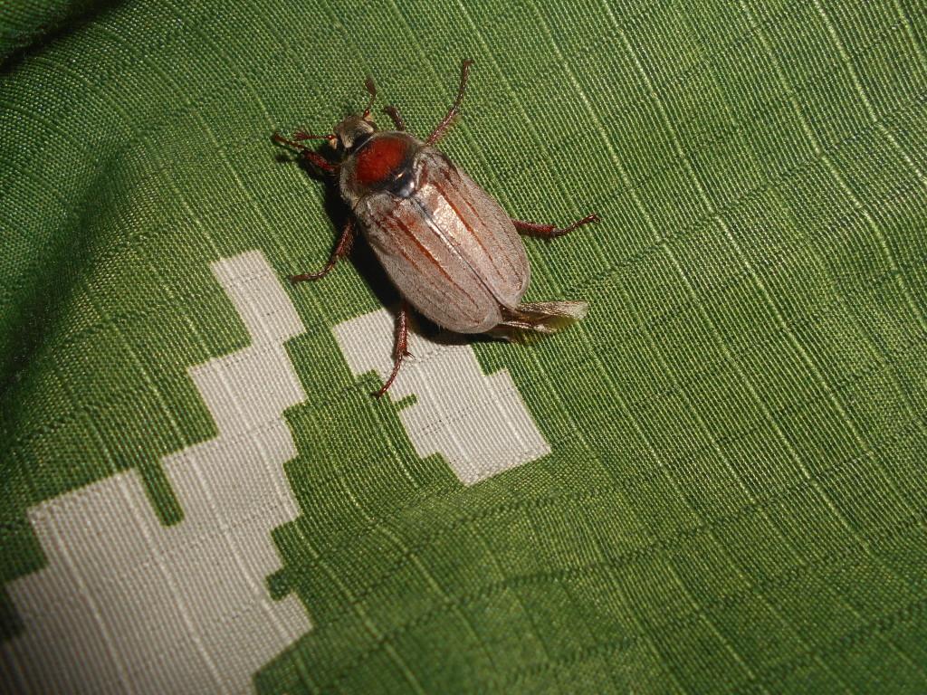 майский жук фото rybachil.ru