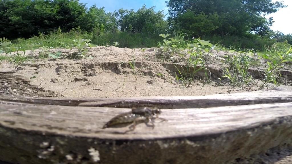 личинка стоекозы ползёт
