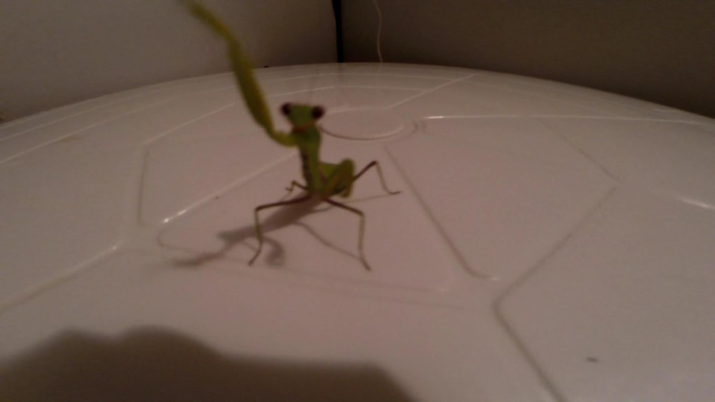 Богомол  насекомое кусается фото.