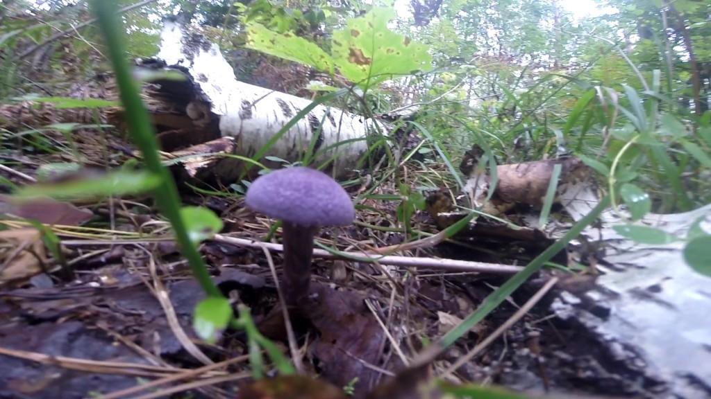 Фиолетовые грибы пластинчитые фото.