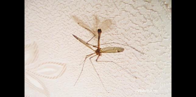 как выглядит комар
