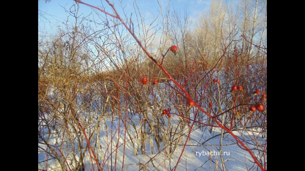 куст шиповника зимой фото