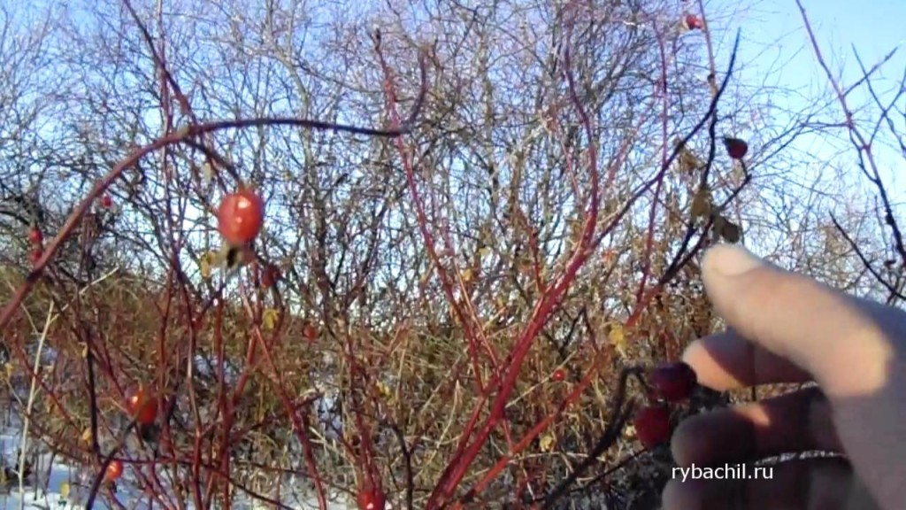куст шиповника зимой