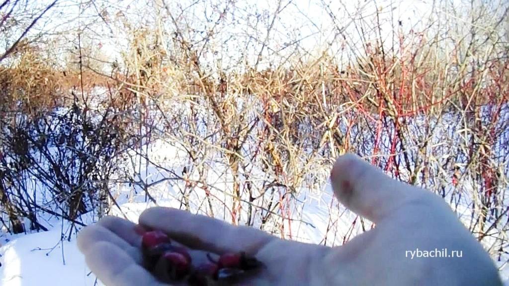плоды шиповника зимой фото