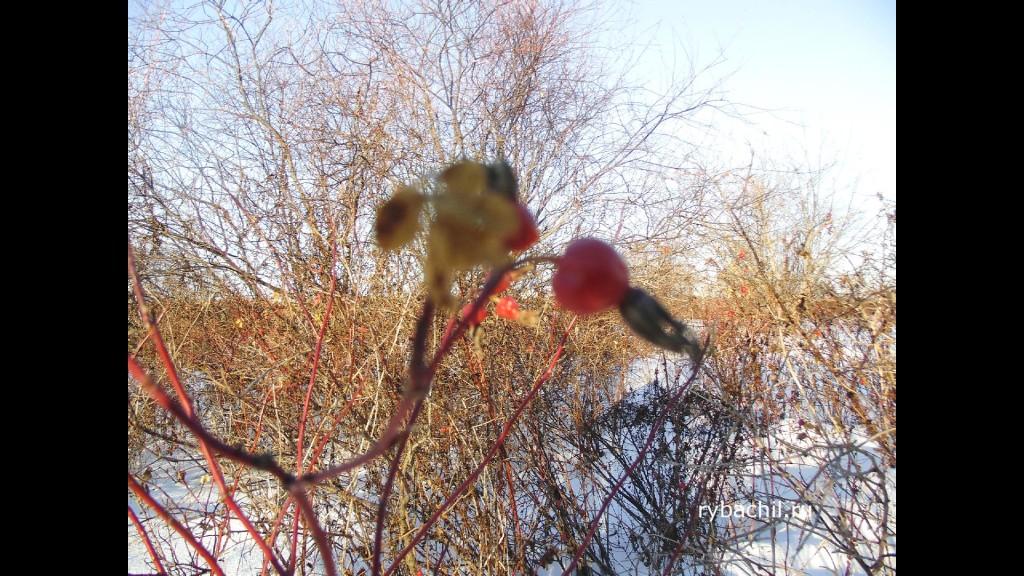 плоды шиповника зимой